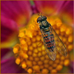 Marmalade hoverfly (Episyrphus balteatus) (Foto Martien) Tags: marmaladehoverfly pyjamazweefvlieg dubbelbandzweefvlieg sorzweefvlieg cocacolazweefvlieg hainschwebfliege winterschwebfliege syrpheceinturé moscacernidora episyrphusbalteatus hoverfly glider zweefvlieg schwebfliege syrphe insect insekt europeanhoverfly europe pollen nectar honey stuifmeel honing flower bloem passiflorahoeve harskamp zorgboerderij zorginstelling veluwe gelderland nederland netherlands holland geotagging geotaggedwithgps geotag slta77v a77v sonyalpha77 a77 slt sony alpha macro macrophoto minoltamacro100mm28mm martienuiterweerd fotomartien