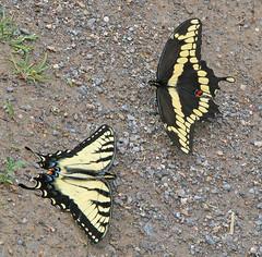 to friends (Vicki's Nature) Tags: swallowtails tigerswallowtail giantswallowtail rare yellow black touchofred butterflies two notofakind pigeonmountain georgia april spring canon s5 4520 ground gravel