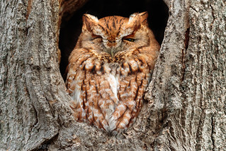Eastern Screech-Owl (red phase)
