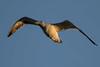 20170112_2322_7D2-400 Gliding Black-backed Gull (johnstewartnz) Tags: canon canonapsc apsc eos 7d2 7dmarkii 400mm 400 newbrighton newbrightonbeach earlyevening justbeforesunset