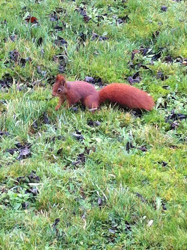Red Squirrel in my front garden, Anglesey, Wales.
