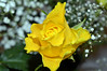 Yellow Rose  (16) on the Tables Christmas day (John Carson Essex UK) Tags: thegalaxy thegalaxystars rainbowofnature supersix