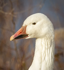 Snow Goose Portrait (tresed47) Tags: 2017 201701jan 20170104bombayhookbirds birds bombayhook canon7d content delaware folder geese peterscamera petersphotos places snowgoose takenby us