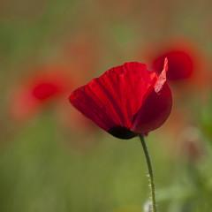 Beauté dévoilée (Titole) Tags: squareformat poppy shallowdof titole nicolefaton red green