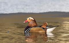 Mandarin Duck (male) (tickspics ) Tags: aixgalericulata cairinini eyeworthpond fritham hampshire mandarinduck newforest perchingducks uk
