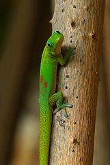 Gold Dust Day Gecko Giving Me The Eye (AlaskaFreezeFrame) Tags: geckos gecko dust geckophelsuma lizards lizard hawaii kona hilo gorgeous beautiful canon 70200mm flash diurnal nature outdoors wildlife alaskafreezeframe bigisland golddustgecko geckophelsumalaticauda closeup portrait