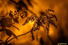 Herbes fannées soleil d'or (leeleeque) Tags: acontretemps angetraverso macro sigm105macro sigma105macro fleurs fleur florefrance flore flowers flower bokeh nature naturelle canon canon600d or gold hautesavoie lumière light photographie