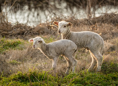 """Little Lamb, who made thee?"" (mikeSF_) Tags: california delta brannanisland twichell twichellisland sacramentoriver solano county contracosta river riverbank lamb sheep animal wildlife farm farming mikeoria mikeoriaphotography pentax pentax645z 645z 645 67 m300 300mm telephoto outdoor golden hour"