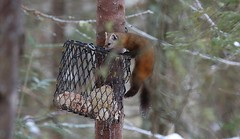 Climbing the Suet Feeder (praja38) Tags: capricorn humour life god nature cap caps mammal carnivore weasel wildlife wild winter wintertime cage suet suetfeeder feeder meal jump climb tree forest wood tail paws marten pine americanpinemarten