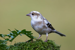 Leucistic Chaffinch (Simon Stobart (Away for a Week)) Tags: leucistic chaffinch perched moss scotland uk