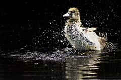 Duck Splash (D()MENICK) Tags: chick water splash bath aaw active assignment weekly bestofweek1 bestofweek2 bestofweek3 bestofweek4 bestofweek5 bestofweek6
