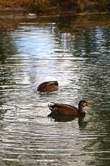Feeding Duck Ripples (Chic Bee) Tags: photostream
