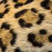 Fur from a Jaguar