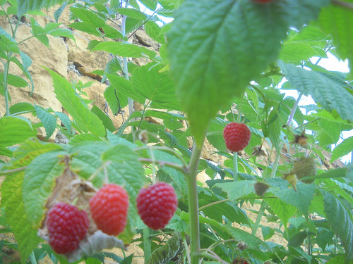 Raspberries fruiting cc May 31, 2015