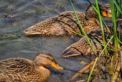 ShoreThing (jmishefske) Tags: baby june duck nikon ducklings mallard v1 brood 2015