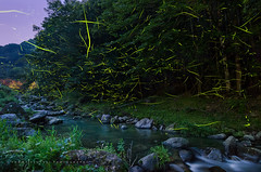 Fireflies On The Clear Stream [Explore] (-TommyTsutsui- [nextBlessing]) Tags: longexposure light tree green nature yellow japan night river landscape dance nikon stream purple brook 木 firefly izu earlysummer 伊豆 川 初夏 matsuzaki 蛍 ホタル sigma1020 松崎町 onsalegettyimages