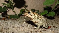 Toad. (Mayte Moya) Tags: usa nature animal us unitedstates florida wildlife amphibian frog toad fl rana seminolecounty greatnature oviparous apopkaflsapo