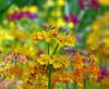 Primulas (eric robb niven) Tags: flowers summer flower nature botanical scotland dundee outdoor ngc primulas candelabras summerwatch ericrobbniven