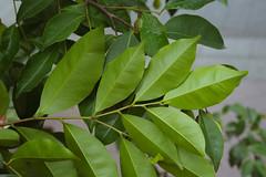 dao-57718 (mutolisp) Tags: world taiwan taipei  angiospermae   magnoliidae angiosperms thymelaeaceae magnoliids spermatophyta malvales   aquilaria  equisetopsida  aquilariasinensis    newtaipeicity apgiii  banqiaodistrict