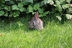 Bunnies on Campus (July 6 & 7, 2015) (cseeman) Tags: summer bunny animal campus hare eating michigan annarbor rabbits universityofmichigan umbunny07072015