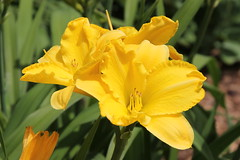 Lilies in my Garden (Saline, Michigan) (cseeman) Tags: flowers yellow garden michigan lilies saline maize