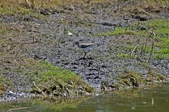 Solitary Sandpiper (Tringa solitaria) (steveraduns_ebird) Tags: park county white bird birds island pond mud florida clay shore april sandpiper solitary thunderbolt fleming shorebird