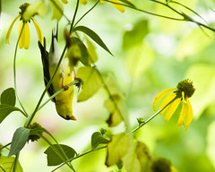 Finch trapeze (back stage) Tags: bird yard goldfinch seeds mo finch coneflower springfield yellowconeflower sonyalpha700 sony70300mmf4556