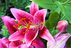 Oriental Lily - Star Gazer (sh10453) Tags: pink usa canon petals colorful lily michigan stargazer lilies oakpark gardenflowers