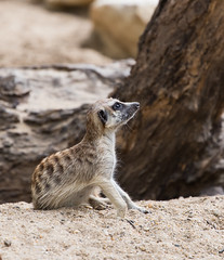 Lovely Meerkat (jack-sooksan) Tags: life cute animal zoo meerkat lovely