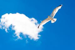 Gull in flight (John P Norton) Tags: bird wales fauna gull manual bif f40 birdinflight 11600sec focallength110mm 24120mmf4 nikond750 copyright2015johnnorton