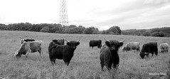 Inquisitive Highland Cows (mootzie) Tags: hairy white black field cow aberdeenshire horns pylon highland curly