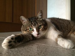 piciu (dianasantucci) Tags: pet cats animals relax eyes chat gato felini gatto hotday piciu catsoftheworld ilovemypics