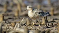 Buff-breasted Sandpiper by Steve Gifford (Steve Gifford - IN) Tags: county nature birds photo wildlife steve picture indiana photograph buff steven sandpiper society gibson audubon gifford ias breasted buffbreasted haubstadt