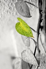 Morning Dew.  #winter #drops #water #leaf #canon (thesilentshutter) Tags: canon leaf drops water winter