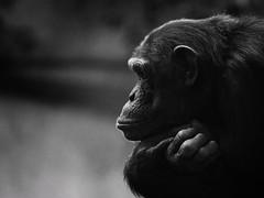 Chimpanzé (Nadège Gascon) Tags: singe 70200 f4 is l animals animaux noir et blanc animalier portrait primate chimpanzé bw canon black white animal