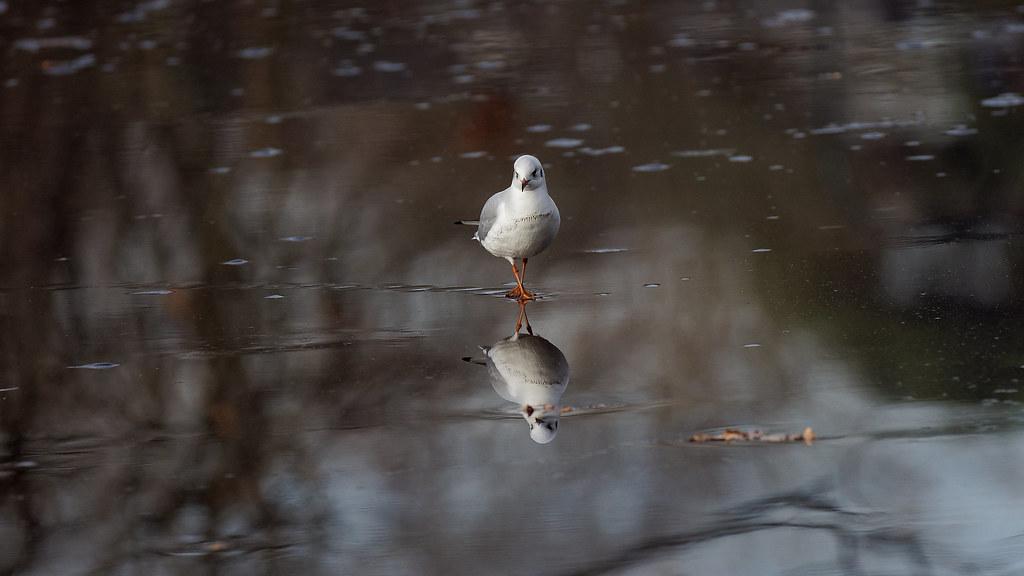 Seagull walking on a frozen lake v2 franck zumella tags bird