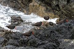 Black Oystercatcher (David Badke) Tags: oakbay bc bird