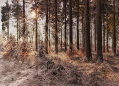 Frieden findest Du nur in den Wäldern! (Michelangelo) (Schneeglöckchen-Photographie) Tags: wald forest trees bäume winter rennsteig thüringen