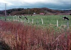 a pasture, Donan, Hokkaido, October 1978 (jtabn99) Tags: hokkaido donan 19781000 farm cow field 北海道 道南 旅行 日本 japan nippon nihon