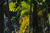 A palm tree inside the rain forest. (vieira.de.carvalho) Tags: canon rebel 350d smctakumar 300mm rainforest tree