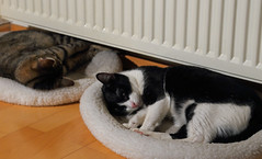 Winter Times (AnyMotion) Tags: lasseñoritas mira nelli radiator heizkörper warmth wärme pet cat cats katze katzen animals tiere 2017 anymotion blackandwhite schwarzweis blancoynegro tabby getigert atigrada félin chat gata 6d canoneos7dmarkii
