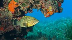 Cernia. Grouper. (Epinephelus marginatu) (omar.flumignan) Tags: lampedusa italia italy isola island mediterraneo mediterranean holiday vacanze canon g7xmk2 fantasea fg7xmk2 ikelite ds51 cernia grouper underwaterphoto fotosub epinephelusmarginatu