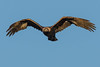 Golden Eagle (Aquila chrysaetos) - Delta, BC (bcbirdergirl) Tags: goldeneagle 3rdwinterbird 3rdwinter 3rdyear delta 72ndstreet turffarm raptor birdofprey eagle golden beauty rare aquilachrysaetos bif flightshot christmascameearly magicmoment incredible magnificent regal
