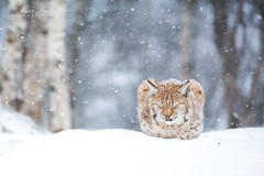 Winter Lynx (Anita Price Foto) Tags: lynx lynxkitten snow snowing winter animal white blue sleeping sleepy sleepyhead norway langedrag anitapricefoto cat kitten wildlife nature ngc npc