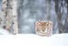 Winter Lynx (Anita Price Foto) Tags: lynx lynxkitten snow snowing winter animal white blue sleeping sleepy sleepyhead norway langedrag anitapricefoto cat kitten wildlife nature ngc npc
