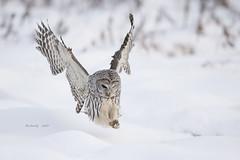 BARRED OWL (AIR BUS) Tags: barredowl birdsinflight birds avian raptors birdsofprey owls d4 alexborbely