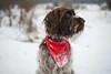 _DSC5091 (sochacki.info) Tags: szyszka griffon wirehaired pointing wpg gundog winter snow hunting dog poland sanok forest walk outside freezing
