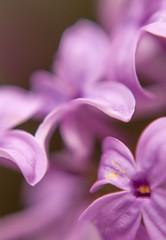 _DSC1302 (KateSi) Tags: plants plant flowers fleurs flores flower flor fleur blomst blomster macro flora purple violet morado lilla lilac lilacs petal petals upclose nikon nikond90 depthoffield