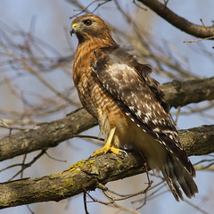 IMG_3878 Red-shouldered Hawk (cmsheehyjr) Tags: cmsheehy colemansheehy nature wildlife bird hawk redshoulderedhawk buteolienatus virginia