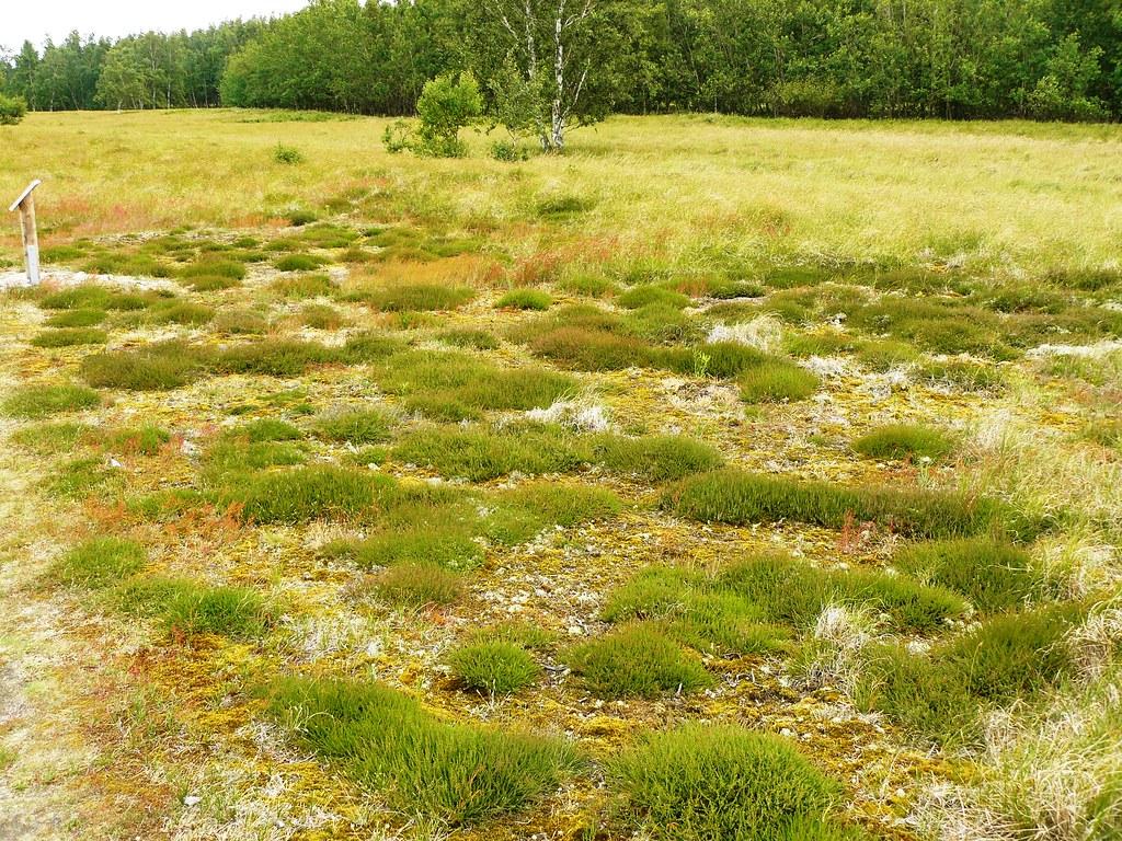 Calluna vulgaris-Besenheide4